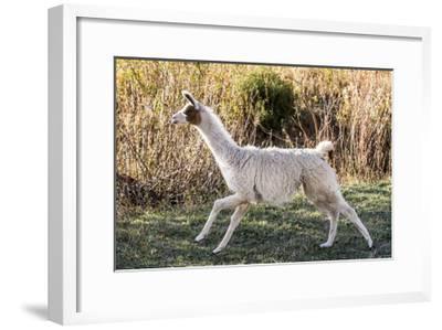 Llama Portrait IX-Tyler Stockton-Framed Art Print