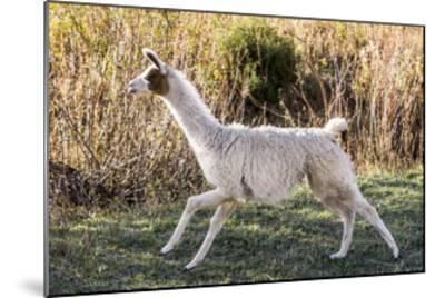 Llama Portrait IX-Tyler Stockton-Mounted Art Print