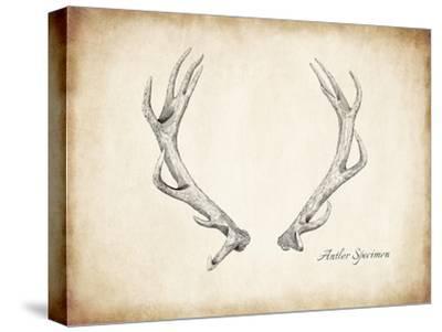 Antler Specimen A-THE Studio-Stretched Canvas Print