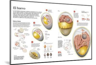 Infografía Sobre El Proceso De Formación Del Huevo En Las Aves, Su Composición, Tamaño Y Forma--Mounted Poster