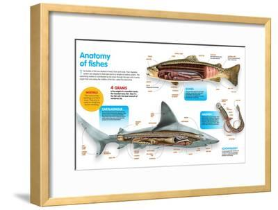 Infographic That Presents the Anatomy of Bony Fish, Cartilaginous Fish and Lampreys--Framed Poster