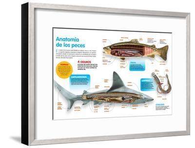 Infografía Donde Se Presenta La Anatomía Los Peces Óseos, Los Peces Cartilaginosos Y Las Lampreas--Framed Poster