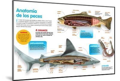 Infografía Donde Se Presenta La Anatomía Los Peces Óseos, Los Peces Cartilaginosos Y Las Lampreas--Mounted Poster