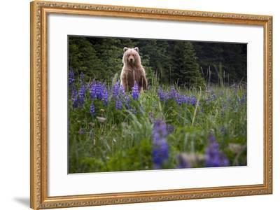 Grizzly Bear (Ursus Arctos Horribilis) With Lupines, Lake Clark National Park, Alaska-Jay Goodrich-Framed Photographic Print