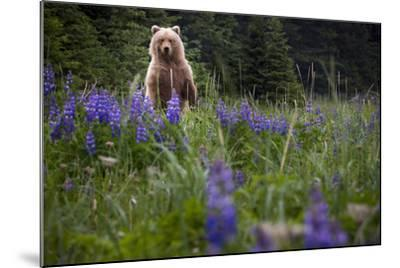Grizzly Bear (Ursus Arctos Horribilis) With Lupines, Lake Clark National Park, Alaska-Jay Goodrich-Mounted Photographic Print