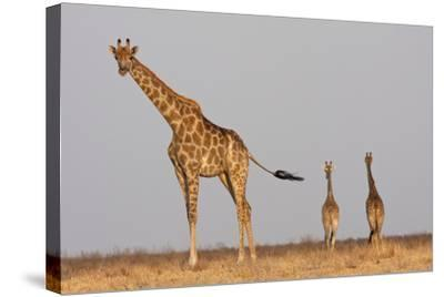 Full Body Portrait Of A Giraffe With Its Tail In The Air And Two Other Giraffe In The Distance-Karine Aigner-Stretched Canvas Print