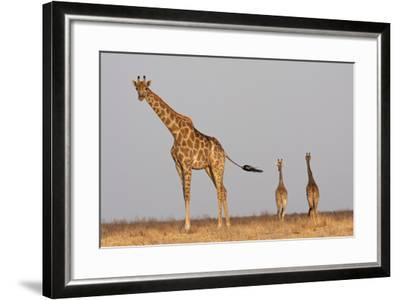 Full Body Portrait Of A Giraffe With Its Tail In The Air And Two Other Giraffe In The Distance-Karine Aigner-Framed Photographic Print