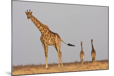 Full Body Portrait Of A Giraffe With Its Tail In The Air And Two Other Giraffe In The Distance-Karine Aigner-Mounted Photographic Print