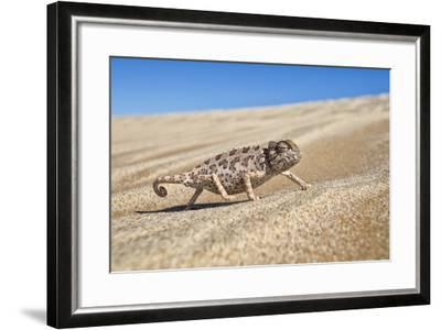 A Namaqua Chameleon Walks On The Sand In The Namib Desert Dunes-Karine Aigner-Framed Photographic Print