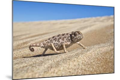 A Namaqua Chameleon Walks On The Sand In The Namib Desert Dunes-Karine Aigner-Mounted Photographic Print