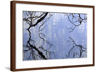Big Leaf Maple Branches Touch The Waters Of Lake Crescent In Olympic National Park In Washington-Jay Goodrich-Framed Photographic Print