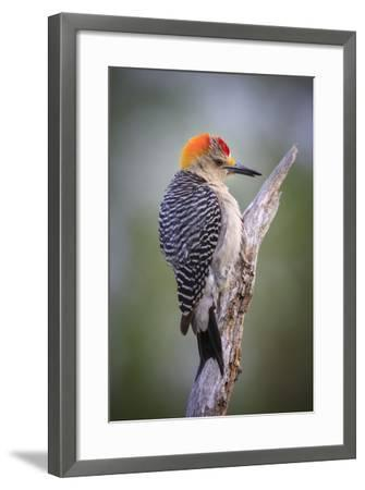 Perching Flicker On A South Texas Ranch Durning Wet Spring Weather-Jay Goodrich-Framed Photographic Print