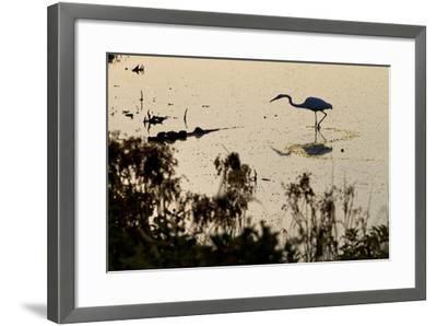 Great Egret Stands Still, It Stalks Dinner, Marshes Of Blackwater Wildlife Refuge, Cambridge, MD-Karine Aigner-Framed Photographic Print