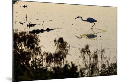 Great Egret Stands Still, It Stalks Dinner, Marshes Of Blackwater Wildlife Refuge, Cambridge, MD-Karine Aigner-Mounted Photographic Print