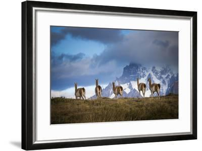 Guanacos (Lama Guanicoe) Grazing With Cuernos Del Paine Peaks In The Background-Jay Goodrich-Framed Photographic Print