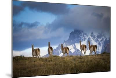 Guanacos (Lama Guanicoe) Grazing With Cuernos Del Paine Peaks In The Background-Jay Goodrich-Mounted Photographic Print