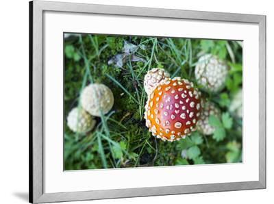 Amanita Mushroom, Mt. Rainier National Park, WA-Justin Bailie-Framed Photographic Print