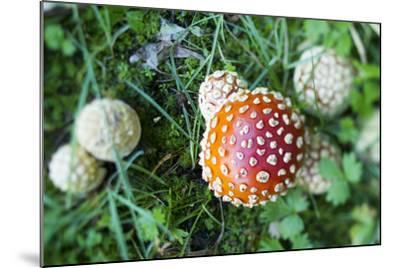 Amanita Mushroom, Mt. Rainier National Park, WA-Justin Bailie-Mounted Photographic Print