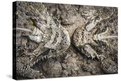 The Lines And Shapes Of A Pair Of Horned Lizards On The Hoffman Ranch In Alice Texas-Jay Goodrich-Stretched Canvas Print