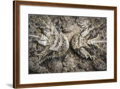 The Lines And Shapes Of A Pair Of Horned Lizards On The Hoffman Ranch In Alice Texas-Jay Goodrich-Framed Photographic Print