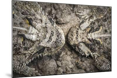 The Lines And Shapes Of A Pair Of Horned Lizards On The Hoffman Ranch In Alice Texas-Jay Goodrich-Mounted Photographic Print