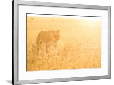 A Female Lion In The Warm Morning Light. Location: Maasai Mara, Kenya-Axel Brunst-Framed Photographic Print