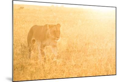 A Female Lion In The Warm Morning Light. Location: Maasai Mara, Kenya-Axel Brunst-Mounted Photographic Print