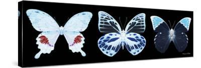 Miss Butterfly X-Ray Panoramic Black II-Philippe Hugonnard-Stretched Canvas Print