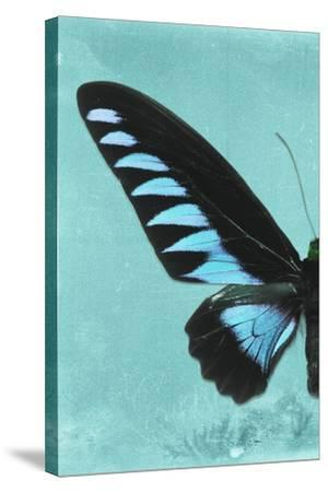 Miss Butterfly Brookiana Profil - Turquoise-Philippe Hugonnard-Stretched Canvas Print