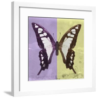 Miss Butterfly Cloanthus Sq - Mauve & Yellow-Philippe Hugonnard-Framed Photographic Print