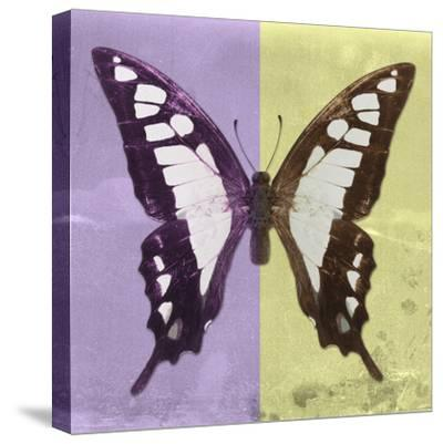 Miss Butterfly Cloanthus Sq - Mauve & Yellow-Philippe Hugonnard-Stretched Canvas Print