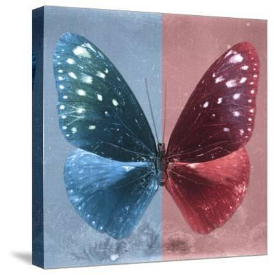 Miss Butterfly Euploea Sq - Blue & Red-Philippe Hugonnard-Stretched Canvas Print