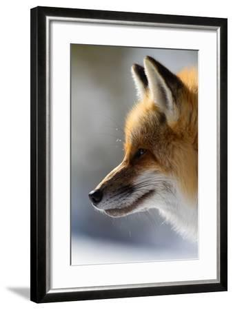 A Close-Up Of A Red Fox, Vulpes Vulpes, Looking Inquisitive And Watchful-Greg Winston-Framed Photographic Print