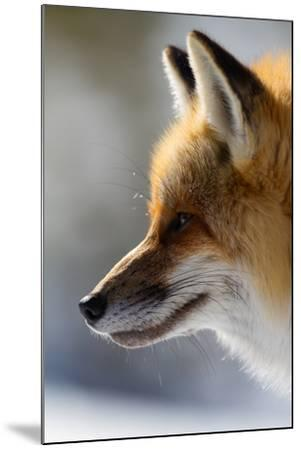 A Close-Up Of A Red Fox, Vulpes Vulpes, Looking Inquisitive And Watchful-Greg Winston-Mounted Photographic Print