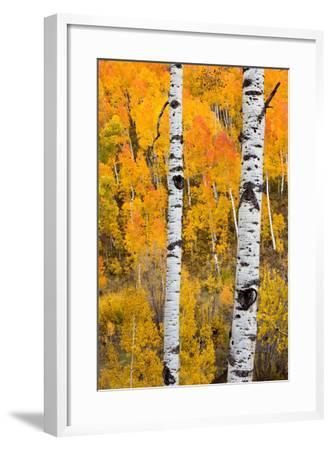 A Pair Of White Aspen Trees In Front Of A Brightly Colored Stand Of Aspens In Fall Colors-Greg Winston-Framed Photographic Print