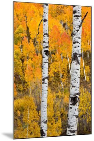 A Pair Of White Aspen Trees In Front Of A Brightly Colored Stand Of Aspens In Fall Colors-Greg Winston-Mounted Photographic Print