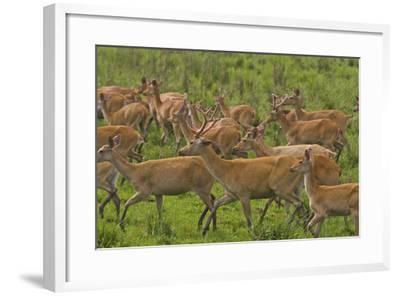 A Herd Of Swamp Deer In Kaziranga National Park-Steve Winter-Framed Photographic Print