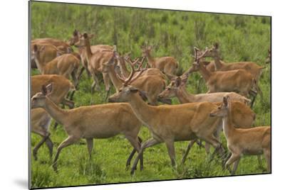 A Herd Of Swamp Deer In Kaziranga National Park-Steve Winter-Mounted Photographic Print