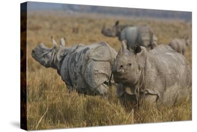 One-Horned Indian Rhinoceroses In Kaziranga National Park-Steve Winter-Stretched Canvas Print