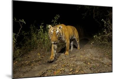 A Remote Camera Captures A Bengal Tiger In Kaziranga National Park-Steve Winter-Mounted Photographic Print