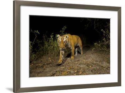 A Remote Camera Captures A Bengal Tiger In Kaziranga National Park-Steve Winter-Framed Photographic Print