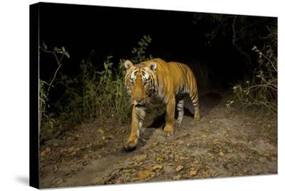 A Remote Camera Captures A Bengal Tiger In Kaziranga National Park-Steve Winter-Stretched Canvas Print