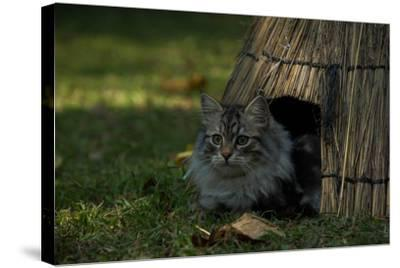 A Maine Coon Cat, Felis Catus, Sits At The Entrance Of An Outdoor Straw Shelter-Beverly Joubert-Stretched Canvas Print