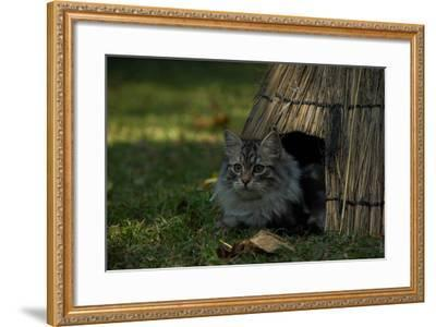 A Maine Coon Cat, Felis Catus, Sits At The Entrance Of An Outdoor Straw Shelter-Beverly Joubert-Framed Photographic Print