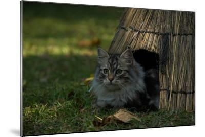 A Maine Coon Cat, Felis Catus, Sits At The Entrance Of An Outdoor Straw Shelter-Beverly Joubert-Mounted Photographic Print