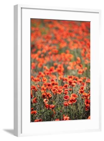A Field Of Red Poppy, Papaver Rhoeas-Jozsef Szentpeteri-Framed Photographic Print