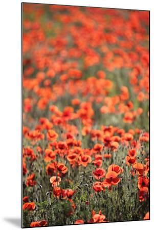 A Field Of Red Poppy, Papaver Rhoeas-Jozsef Szentpeteri-Mounted Photographic Print
