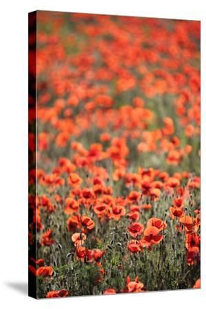 A Field Of Red Poppy, Papaver Rhoeas-Jozsef Szentpeteri-Stretched Canvas Print