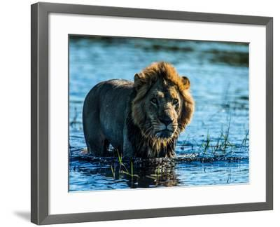 A Lion, Panthera Leo, Standing In Water In Botswana's Okavango Delta-Beverly Joubert-Framed Photographic Print