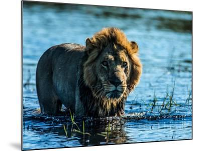 A Lion, Panthera Leo, Standing In Water In Botswana's Okavango Delta-Beverly Joubert-Mounted Photographic Print